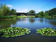 有waterlillies的湖 免版税库存图片