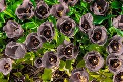 有yello和新鲜的绿色叶子的成为不饱和的郁金香瓣 免版税库存图片