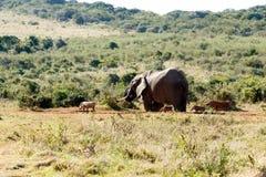 朋友-非洲人布什大象 库存照片