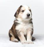 服从的小狗 免版税图库摄影