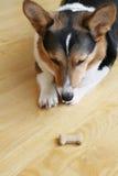 服从的狗 免版税库存图片