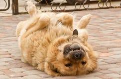 服从的狗 库存图片