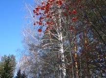 服务树、天空蔚蓝、白桦和红色莓果 免版税库存照片