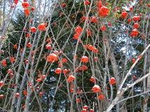 服务树和积雪的红色莓果 图库摄影