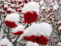 服务树和积雪的红色莓果 库存照片
