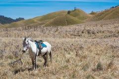 服务游人的马租大草原布罗莫火山火山的 库存图片