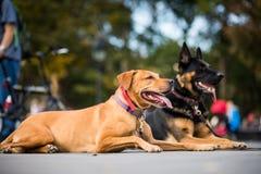服从请求不对Mo的他们的教练员的训练有素的狗 免版税库存图片