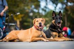 服从请求不对Mo的他们的教练员的训练有素的狗 库存图片