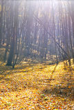 晴朗天气的秋天森林 免版税图库摄影