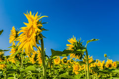 晴朗日农田小的向日葵 库存图片