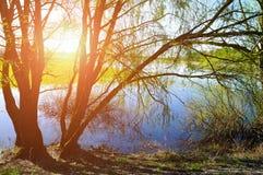 晴朗的五颜六色的春天风景-在阳光下的杨柳在小河的河岸 图库摄影