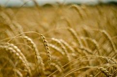 晴朗的俄国麦田 免版税库存图片