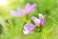 晴朗的关闭在绿草花草甸的桃红色雏菊花 免版税库存照片