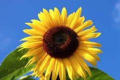 晴朗的向日葵 库存图片