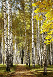 晴朗的天气的金黄混杂的秋天森林 免版税图库摄影