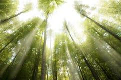 晴朗的射线在森林里 免版税库存图片