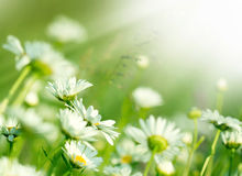 晴朗的射线点燃的春天雏菊 库存图片