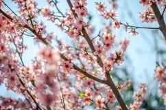 晴朗的春天开花 库存照片