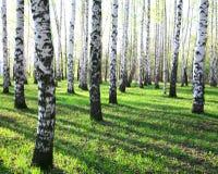 晴朗的春天桦树 免版税图库摄影