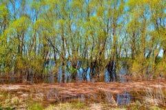 晴朗的春天风景-杨柳丛林充斥了与春天floo 免版税库存照片