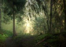 晴朗的有雾的森林 免版税库存图片