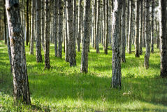 晴朗的杉木森林 免版税库存照片