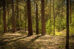 晴朗的清洁在森林里在一个夏日 免版税库存照片