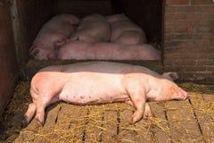 晴朗的猪 免版税库存图片