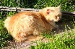 晴朗的猫 免版税库存图片