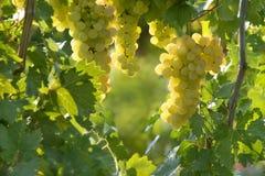 晴朗的葡萄 库存图片