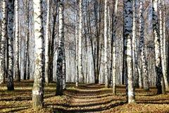 晴朗的路在11月秋天桦树树丛里 免版税库存图片