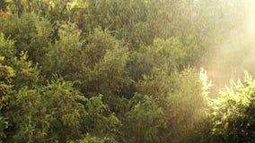 晴朗的雨光在森林里 股票录像