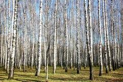 晴朗的11月天气在秋天桦树树丛里 免版税图库摄影