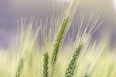 晴朗的绿色麦田 免版税库存照片