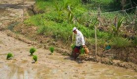 朗芒芽地,菲律宾- 2017年9月16日, :老妇人种植在领域的米 生长在桨的传统米 免版税库存图片