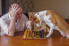 绝望地考虑接下来的步骤的聪明的basenji狗 库存照片