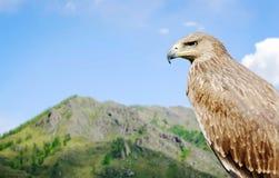 以朝前看一座的高山为背景的老鹰 库存照片