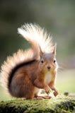 朝前看与装缨球耳朵的红松鼠 免版税库存图片