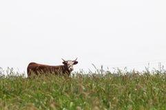 朝前看布朗的母牛 库存图片