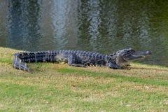 朝前看的鳄鱼 免版税库存图片