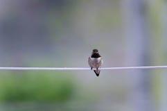 朝前看被栖息的蜂鸟 免版税库存图片