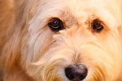 朝向一只狗和棕色眼睛 免版税库存图片