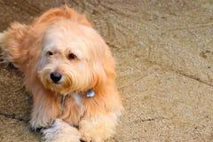 朝向一只狗和棕色眼睛 免版税图库摄影