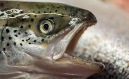 朝向与眼睛鱼三文鱼大牙开放嘴掠食性动物 库存图片