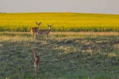 朝向往油菜领域的3个白尾鹿大型装配架 库存照片