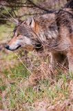 朝向拨开北美灰狼 免版税库存图片