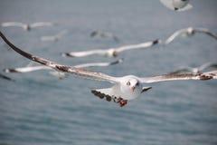 朝向的棕色鸥 库存照片