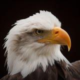 朝向的白头鹰 库存照片