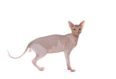 朝向的秃头猫 免版税库存照片