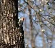 朝向的红色啄木鸟 库存图片